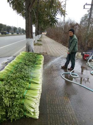 四川省成都市彭州市美国西芹 60cm以上 露天种植 1.0~1.5斤