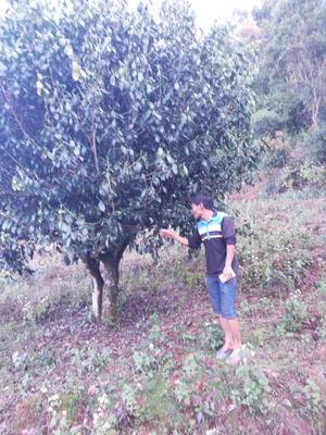 云南省普洱市景谷傣族彝族自治县深山古树茶 散装 一级