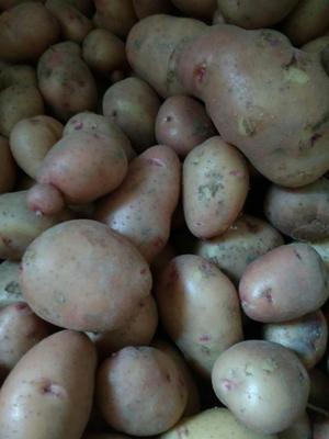 广东省茂名市信宜市荷十五土豆种 原原种