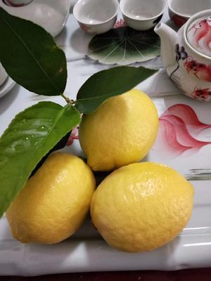 河南省郑州市中牟县黄柠檬 2.7 - 3.2两