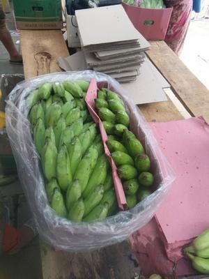 云南省红河哈尼族彝族自治州金平苗族瑶族傣族自治县芭蕉 七成熟 40斤以下
