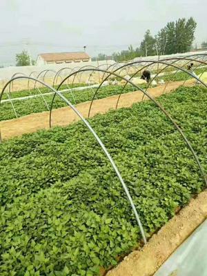 山东省青岛市平度市济薯26号红薯苗 15~25cm