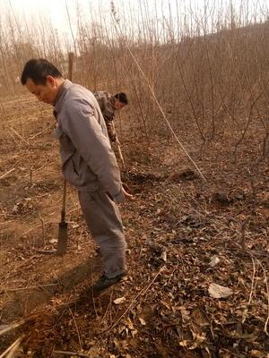 河北省石家庄市平山县中华寿桃桃树苗 1.5~2.0米