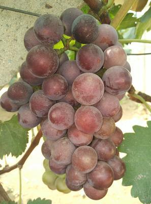 河北省石家庄市晋州市巨峰葡萄 5%以下 1次果 1.5- 2斤