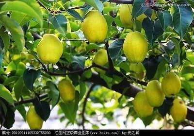 广东省广州市黄埔区库尔勒香梨 100-150g 55mm以上
