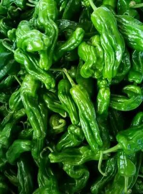 安徽省宿州市埇桥区薄脆王辣椒种子 99%以上 杂交种