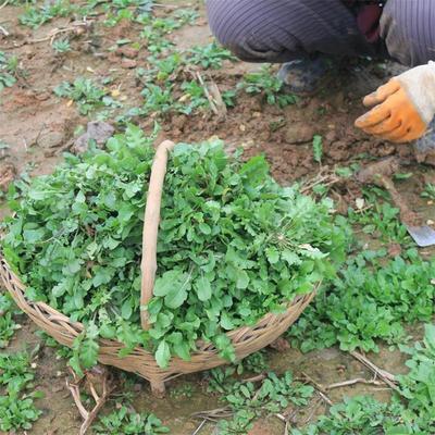 山东省潍坊市寿光市荠菜种子