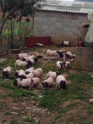 贵州省贵阳市清镇市巴马香猪 20-40斤