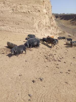 甘肃省定西市安定区藏香猪 60斤以上