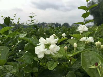 四川省雅安市名山区茉莉花茶 袋装 特级