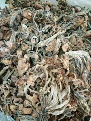 四川省绵阳市涪城区野生茶树菇 散装 1年以上