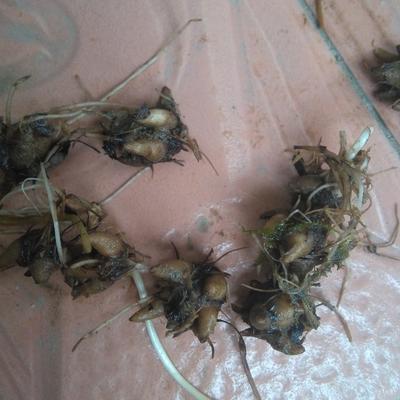 这是一张关于猫爪草 的产品图片