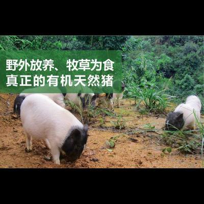 这是一张关于两头乌猪 60斤以上的产品图片