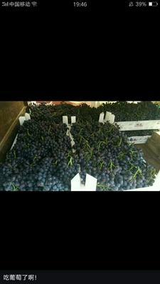山东省烟台市蓬莱市玫瑰香葡萄 5%以下 1次果 1-1.5斤