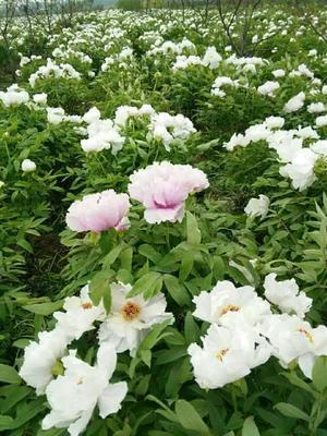 河南省许昌市鄢陵县白花芍药 2cm以下 0.5米以下