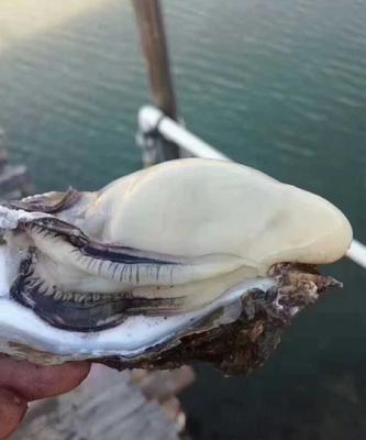 广东省珠海市斗门区珠海生蚝 野生 1-3只/公斤