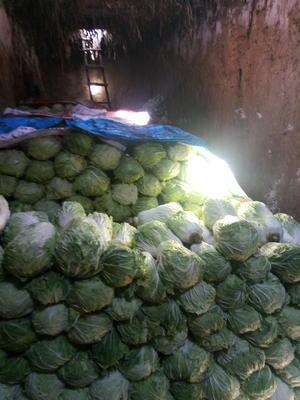 黑龙江省绥化市肇东市东北大白菜 3~6斤 净菜