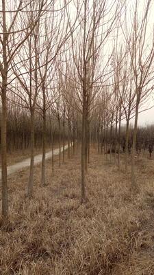 山东省滨州市沾化区速生白蜡 3~3.5米