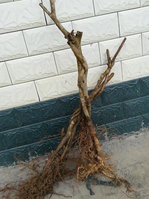 陕西省安康市汉阴县红花紫荆