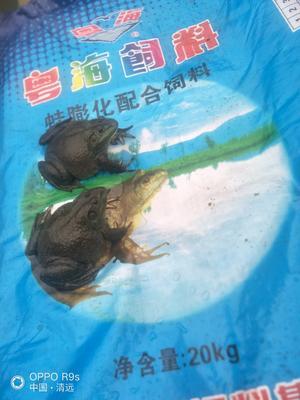 广东省清远市阳山县牛蛙
