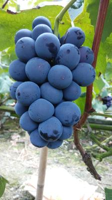四川省成都市双流县巨峰葡萄 5%以下 1次果 0.6-0.8斤