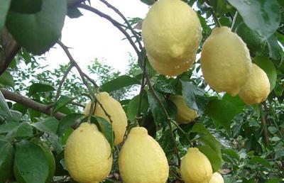 重庆潼南县安岳柠檬 2 - 2.6两