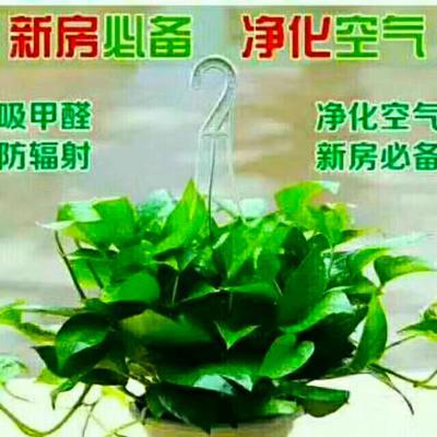 这是一张关于绿萝吊兰 30~50cm 的产品图片