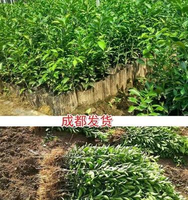 四川省资阳市简阳市耙耙柑桔苗 嫁接苗 0.5~1米