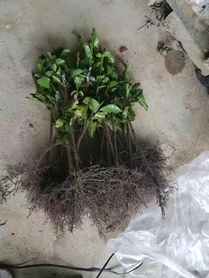 这是一张关于南方热带水果苗的产品图片
