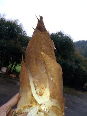 这是一张关于春笋 17~21cm 鲜笋 的产品图片