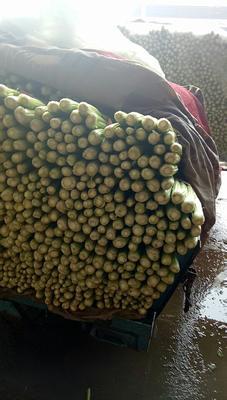 河北省邯郸市永年县西芹 55~60cm 大棚种植 0.5斤以下