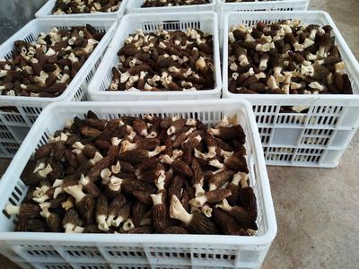 重庆万州区干羊肚菌 散装 1年以上
