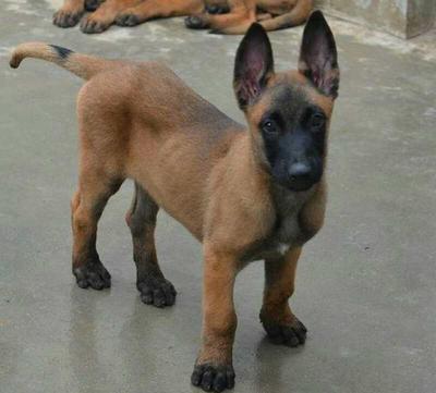 这是一张关于马犬的产品图片