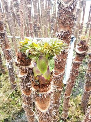 这是一张关于刺老芽 箱装 露天的产品图片