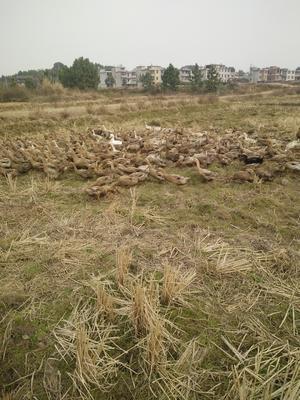 江西省吉安市永丰县多蛋鸭 母 全散养 2-3斤