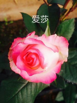 云南省昆明市呈贡区新品种玫瑰