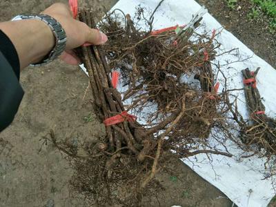 这是一张关于其它苗木 的产品图片