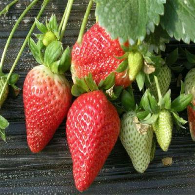 章姬草莓苗  地栽苗 10~20公分 保证成活率95%以上