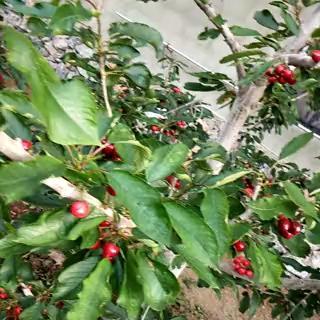 这是一张关于美早樱桃 20mm以上 8-12g的产品图片