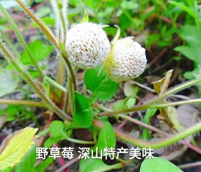 重庆奉节县野草莓 20克以下