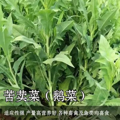 山东省聊城市茌平县苦荬菜种子