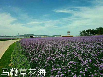山东省潍坊市青州市鼠尾草