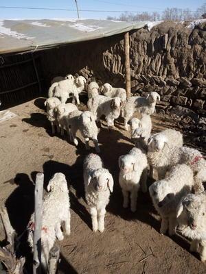 河北省张家口市沽源县寒羊黑头杂交羊 50-80斤