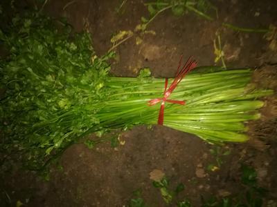 山东省济宁市邹城市毛芹 40cm以下 大棚种植 0.5斤以下