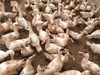 云南省昆明市西山区火鸭 公 半圈养半散养 4-5斤