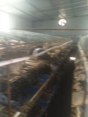 贵州省毕节市赫章县杂交野兔 3-5斤