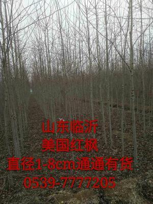 山东省临沂市临沭县美国红枫