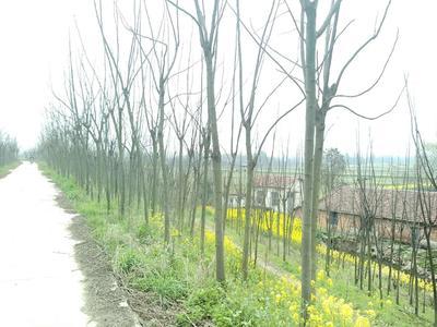 这是一张关于黄山栾树的产品图片