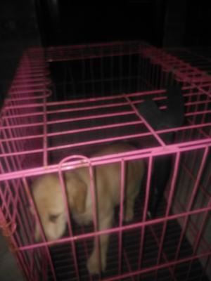 这是一张关于拉布拉多犬的产品图片