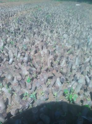 广西壮族自治区梧州市藤县葛种种苗